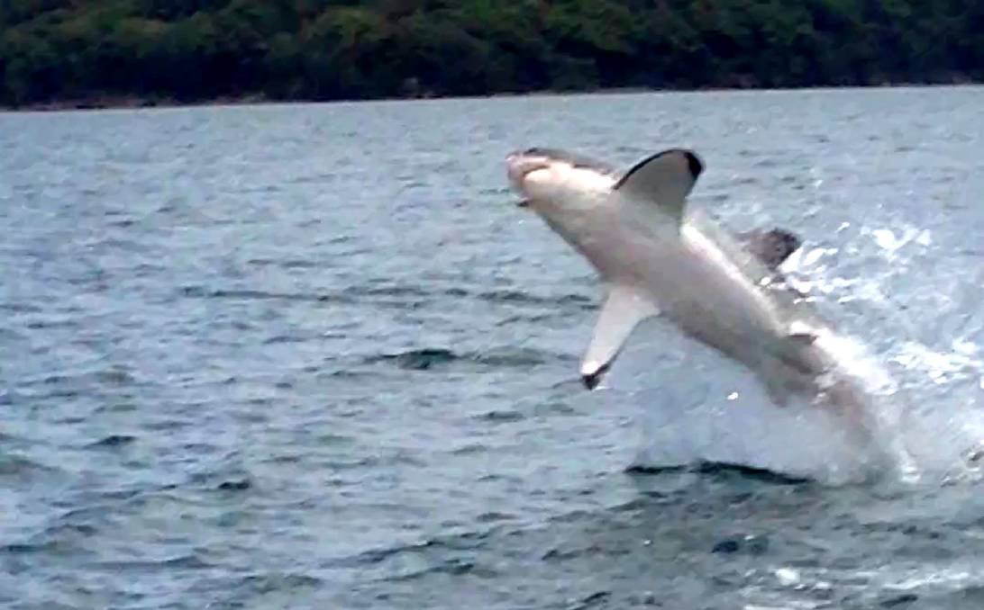 A great white shark jumping out of the water near Pulbah Island in Lake Macquarie in 2014. Photo: Rod Collins