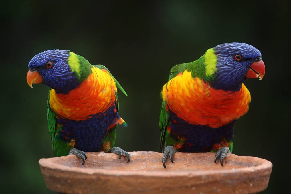 Birds of a Feather: An abundance of lorikeets has been noticed in Newcastle and Lake Macquarie, with gums in bloom.