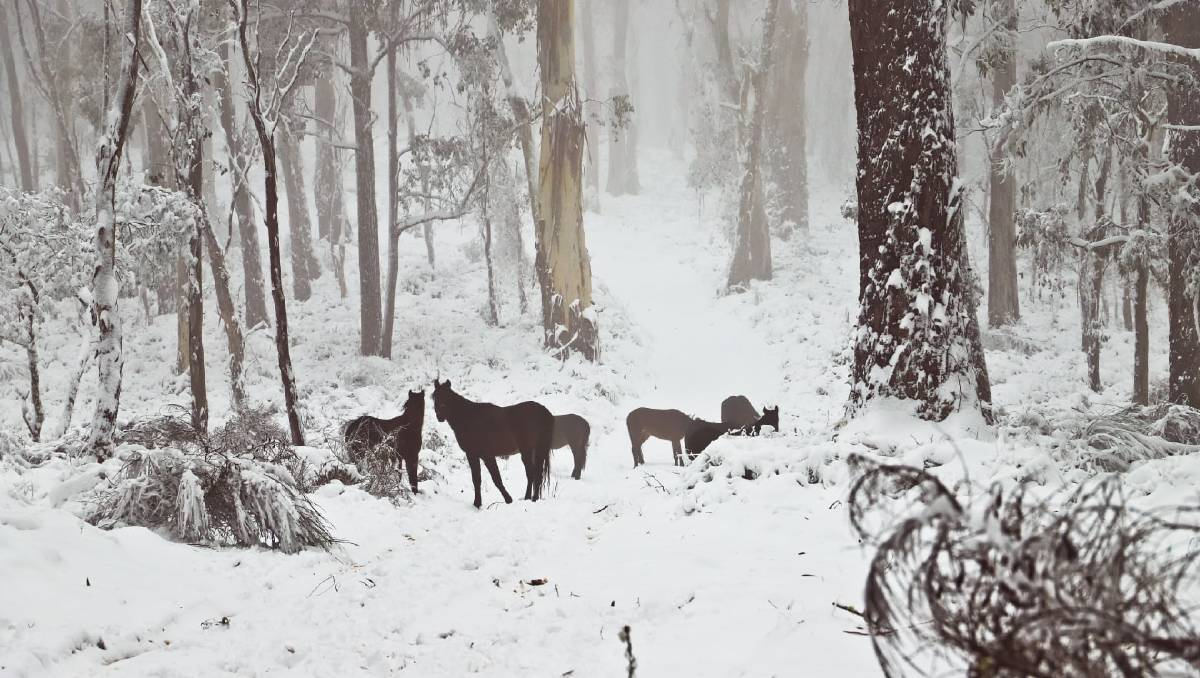 Majestic brumbies snapped as Barrington braces for more snow