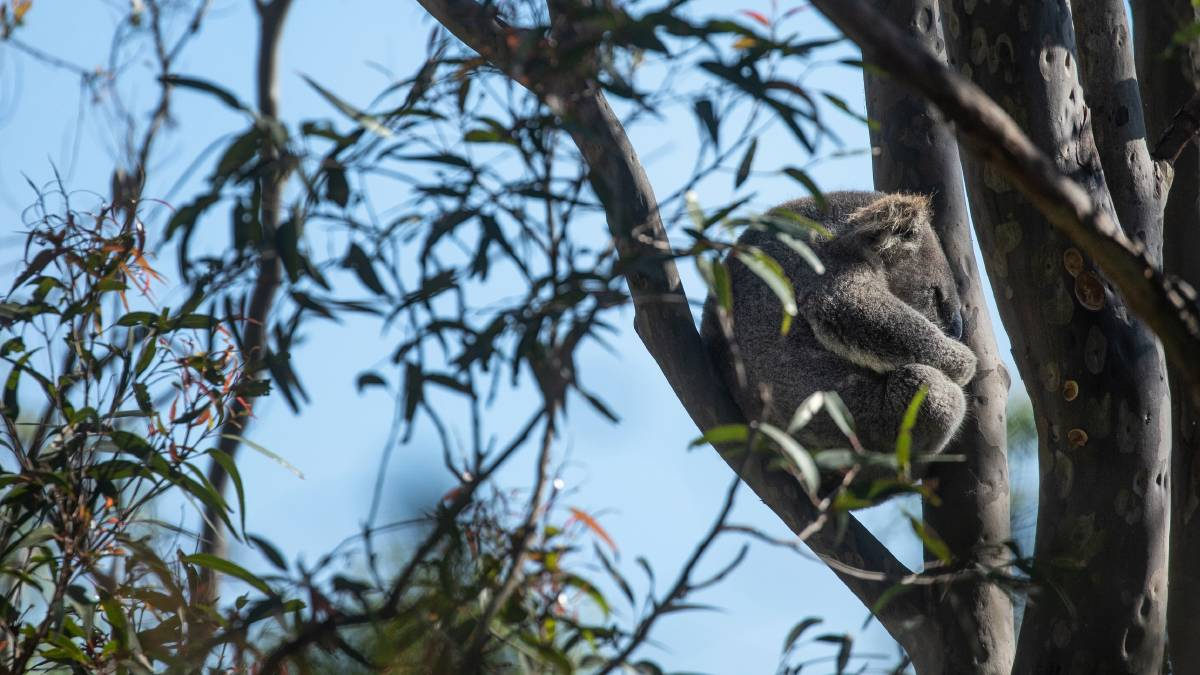 Koala group vows to keep pressure on as Brandy Hill quarry decision delayed