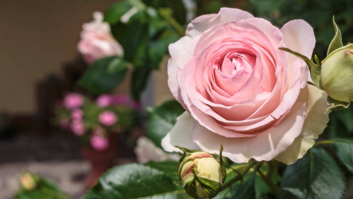 Pruning tips to get the most from a blooming rose season