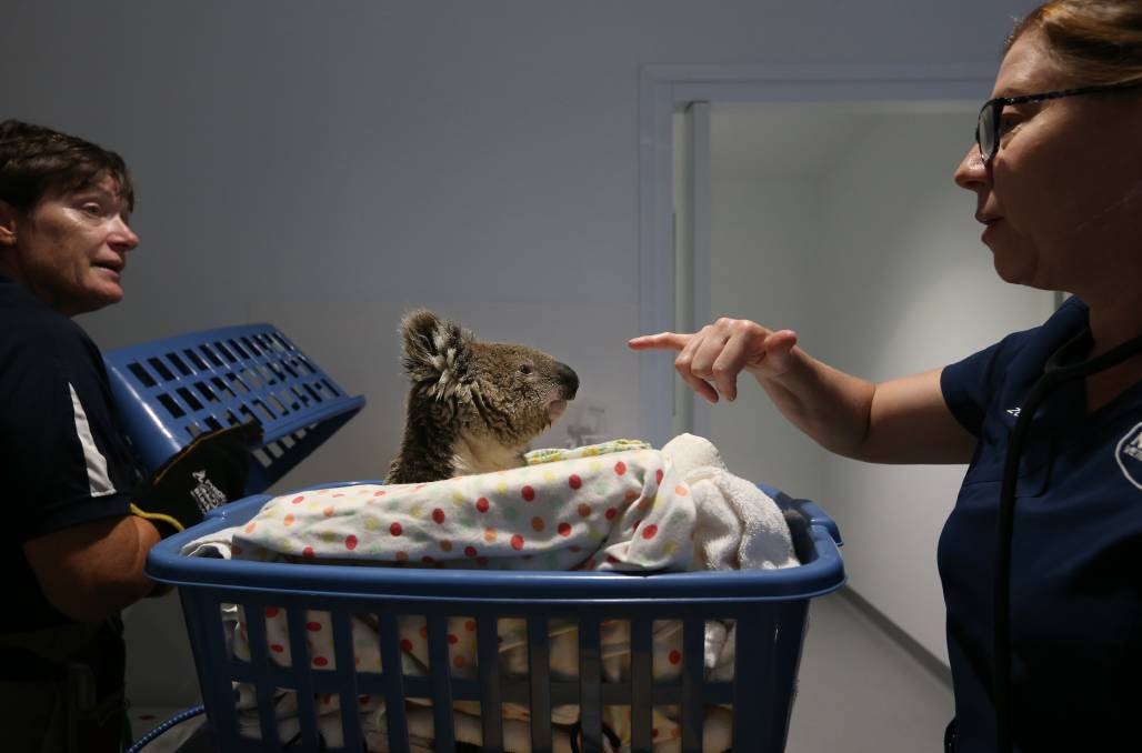 CARE: Volunteer Heather Forbes, wearing gloves, and nurse Zoe Bradley keep an eye on Toohey the koala, who has just been brought into the clinic.