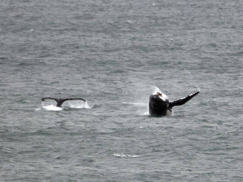 Seismic blasting is set to take place off Newcastle in the lead up to the whale migration season