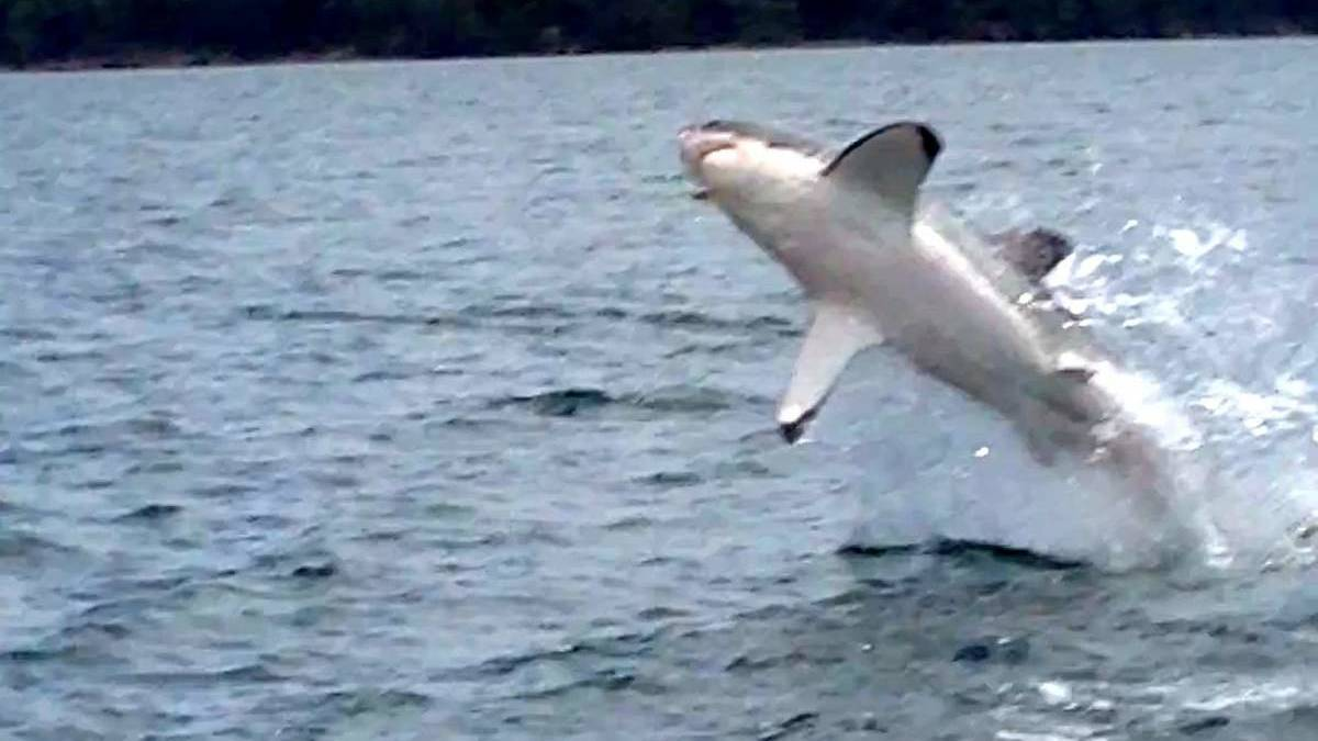 STUNNING: A great white shark leaps from Lake Macquarie. Picture: Rod Collins